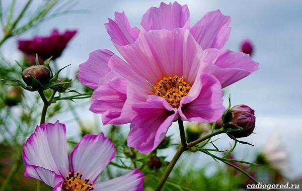 Космея-цветок-Описание-особенности-виды-и-уход-за-космеей-24