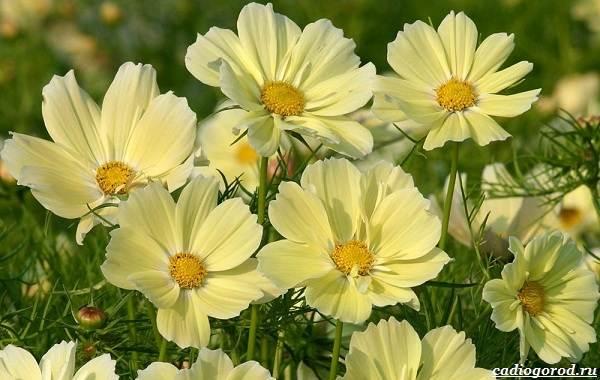 Космея-цветок-Описание-особенности-виды-и-уход-за-космеей-25