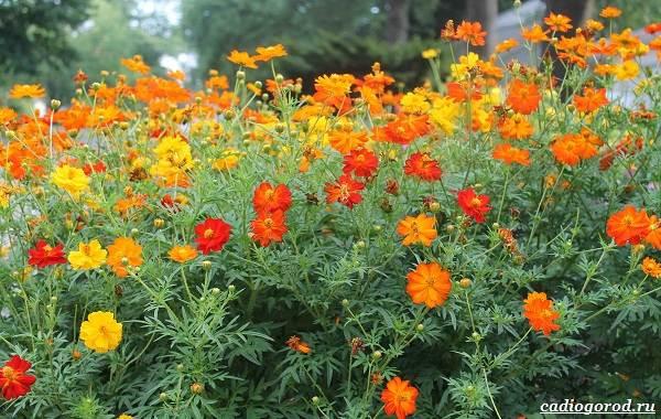 Космея-цветок-Описание-особенности-виды-и-уход-за-космеей-26