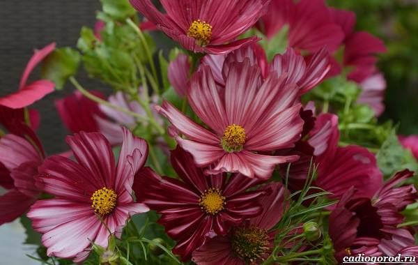 Космея-цветок-Описание-особенности-виды-и-уход-за-космеей-28