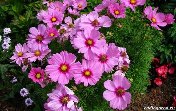 Космея-цветок-Описание-особенности-виды-и-уход-за-космеей-29