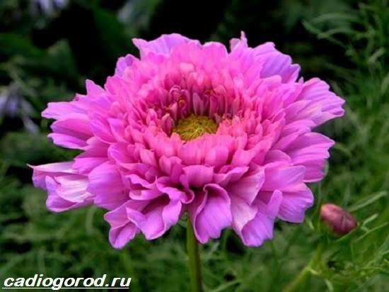 Космея-цветок-Описание-особенности-виды-и-уход-за-космеей-3