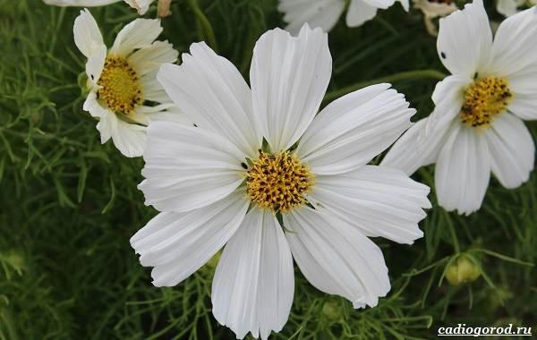 Космея-цветок-Описание-особенности-виды-и-уход-за-космеей-30
