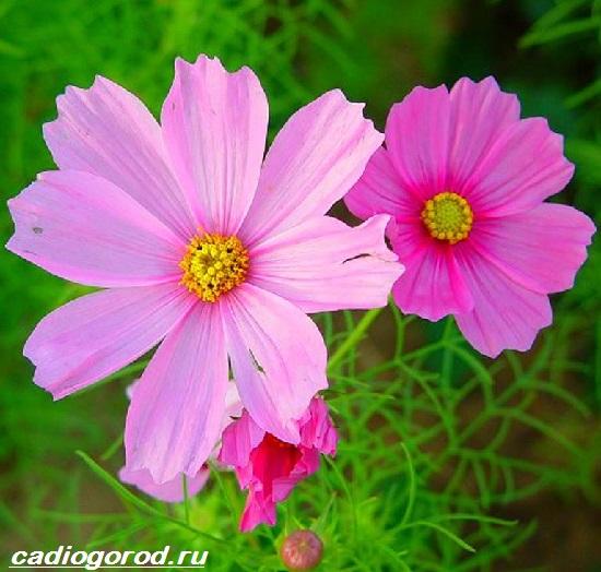 Космея-цветок-Описание-особенности-виды-и-уход-за-космеей-4