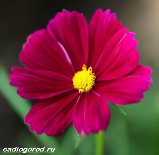 Космея-цветок-Описание-особенности-виды-и-уход-за-космеей-
