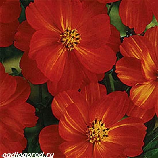 Космея-цветок-Описание-особенности-виды-и-уход-за-космеей-6