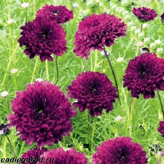 Космея-цветок-Описание-особенности-виды-и-уход-за-космеей-7