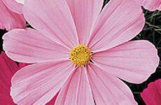 Космея цветок. Описание, особенности, виды и уход за космеей