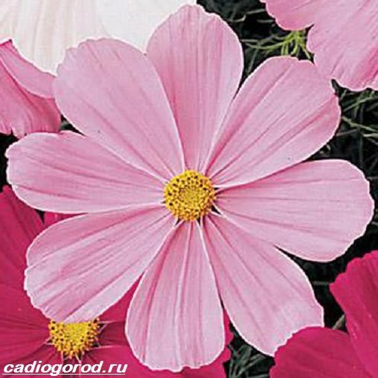 Космея-цветок-Описание-особенности-виды-и-уход-за-космеей-8