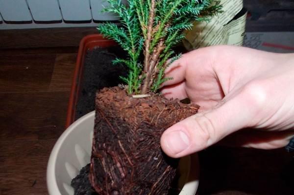 Купрессус-растение-Описание-особенности-виды-и-уход-за-купрессусом-10