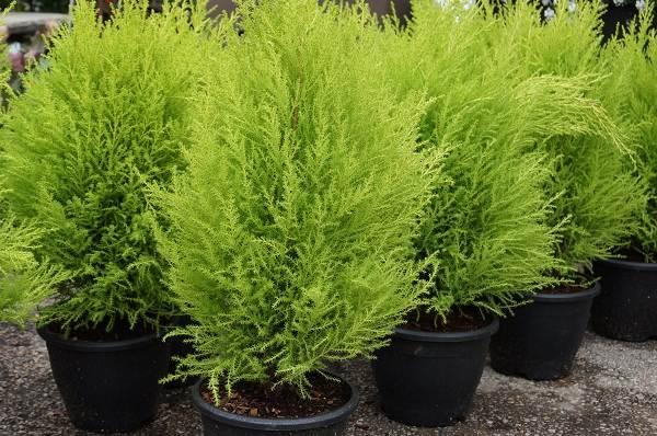 Купрессус-растение-Описание-особенности-виды-и-уход-за-купрессусом-11