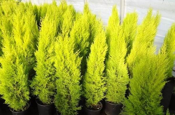 Купрессус-растение-Описание-особенности-виды-и-уход-за-купрессусом-12