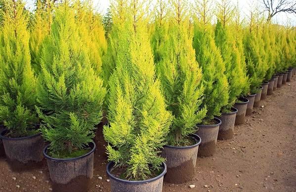 Купрессус-растение-Описание-особенности-виды-и-уход-за-купрессусом-13