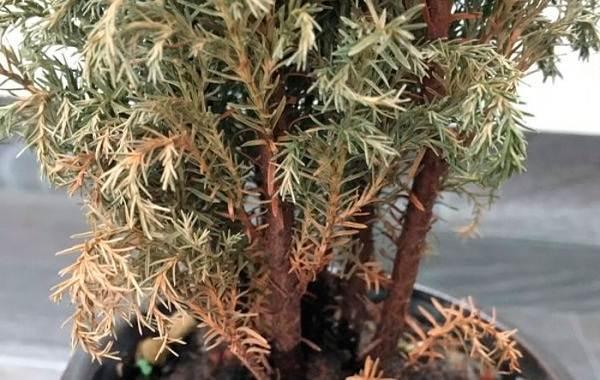 Купрессус-растение-Описание-особенности-виды-и-уход-за-купрессусом-16