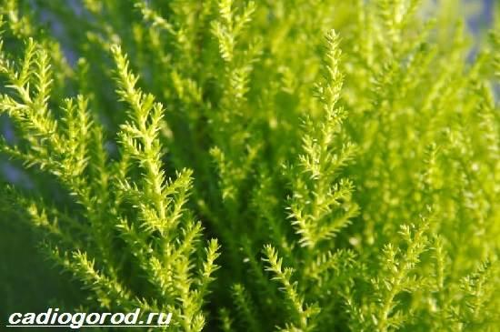 Купрессус-растение-Описание-особенности-виды-и-уход-за-купрессусом-3