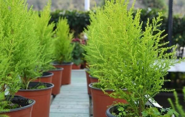 Купрессус-растение-Описание-особенности-виды-и-уход-за-купрессусом-7