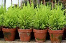 Купрессус растение. Описание, особенности, виды и уход за купрессусом