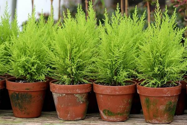 Купрессус-растение-Описание-особенности-виды-и-уход-за-купрессусом-8