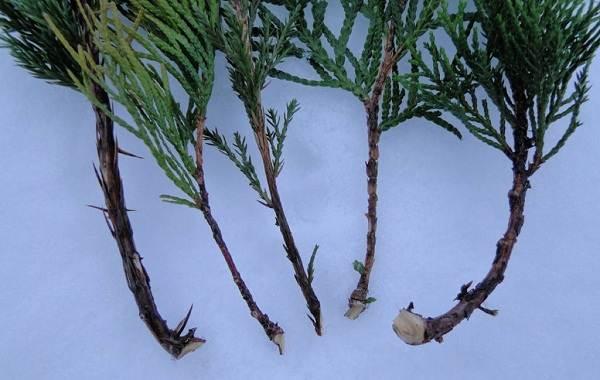 Купрессус-растение-Описание-особенности-виды-и-уход-за-купрессусом-9