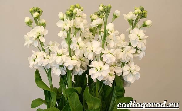 Левкой-цветок-Описание-особенности-виды-и-уход-за-левкоем-10