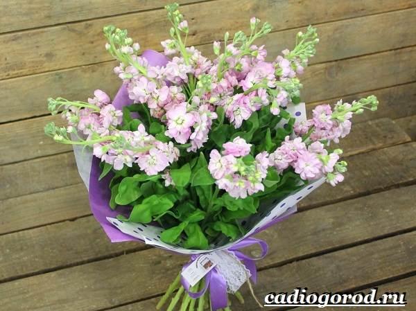Левкой-цветок-Описание-особенности-виды-и-уход-за-левкоем-12