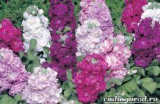 Левкой цветок. Описание, особенности, виды и уход за левкоем