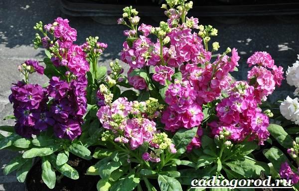 Левкой-цветок-Описание-особенности-виды-и-уход-за-левкоем-9