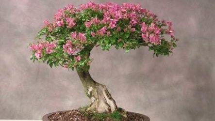 Мирт цветок. Описание, особенности, виды и уход за миртом