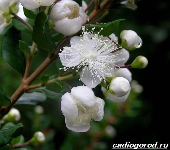 Мирт-цветок-Описание-особенности-виды-и-уход-за-миртом-4