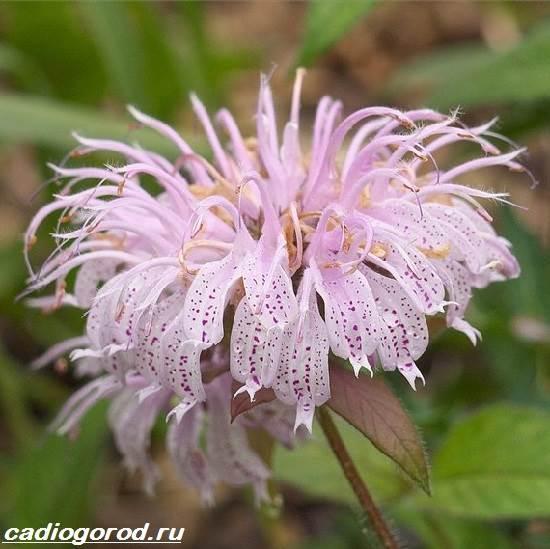 Монарда-цветок-Описание-особенности-виды-и-уход-за-монардой-2
