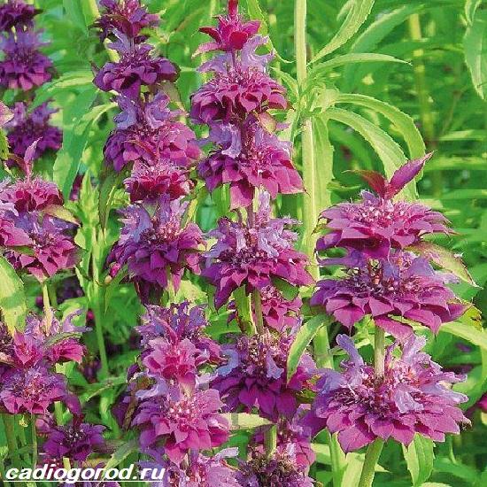Монарда-цветок-Описание-особенности-виды-и-уход-за-монардой-5