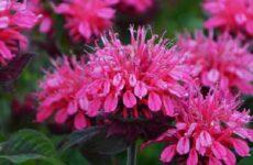 Монарда цветок. Описание, особенности, виды и уход за монардой