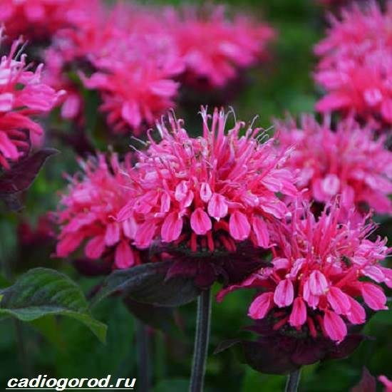 Монарда-цветок-Описание-особенности-виды-и-уход-за-монардой-6