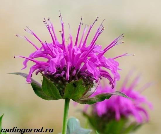 Монарда-цветок-Описание-особенности-виды-и-уход-за-монардой-7