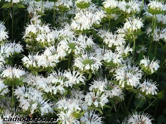 Монарда-цветок-Описание-особенности-виды-и-уход-за-монардой-9