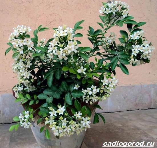 Мурайя-цветок-Описание-особенности-виды-и-уход-за-мурайей-1