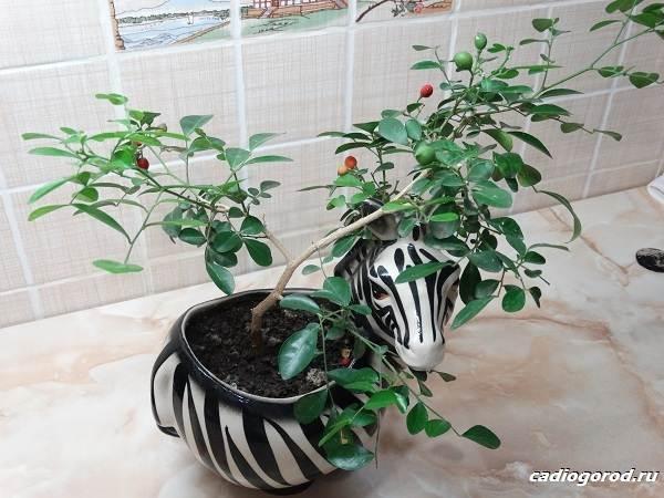 Мурайя-цветок-Описание-особенности-виды-и-уход-за-мурайей-10