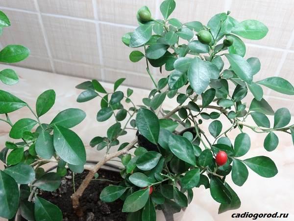 Мурайя-цветок-Описание-особенности-виды-и-уход-за-мурайей-12