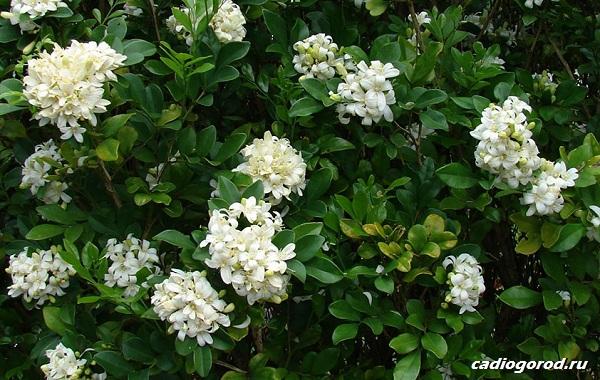Мурайя-цветок-Описание-особенности-виды-и-уход-за-мурайей-17