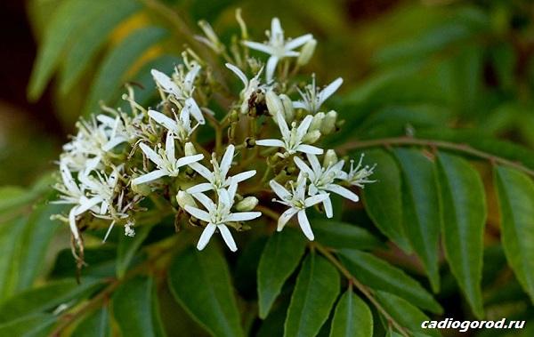 Мурайя-цветок-Описание-особенности-виды-и-уход-за-мурайей-19