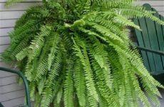 Нефролепис папоротник растение. Описание, особенности, виды и уход за нефролеписом