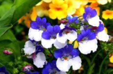 Немезия цветок. Описание, особенности, виды и уход за немезией