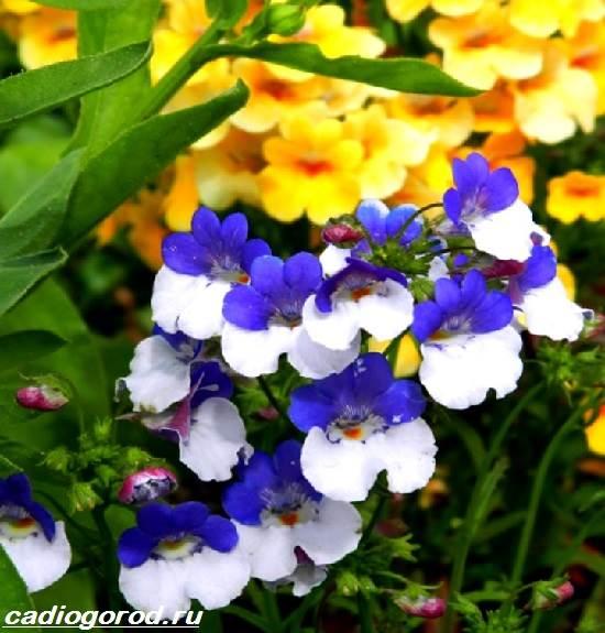 Немезия-цветок-Описание-особенности-виды-и-уход-за-немезией-1