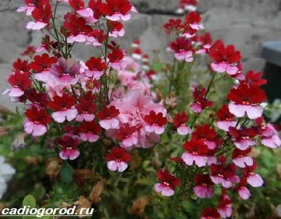 Немезия-цветок-Описание-особенности-виды-и-уход-за-немезией-3