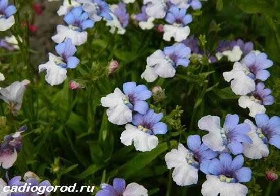 Немезия-цветок-Описание-особенности-виды-и-уход-за-немезией-8