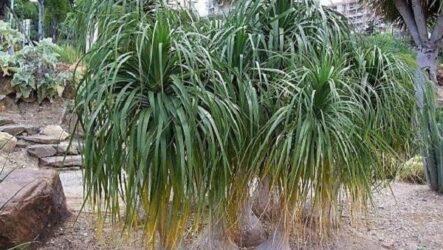 Нолина дерево. Описание, особенности, виды и уход за нолиной