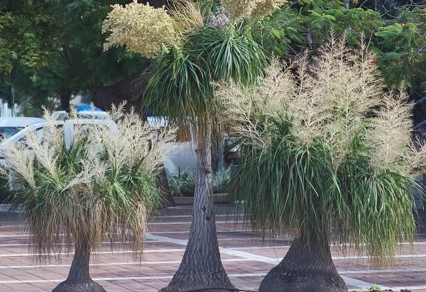 Нолина-дерево-Описание-особенности-виды-и-уход-за-нолиной-15