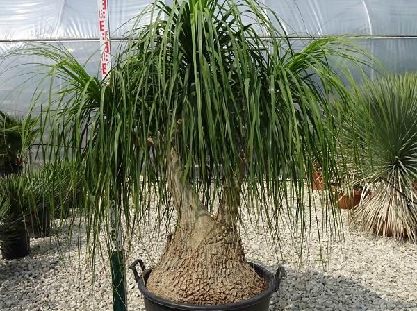 Нолина-дерево-Описание-особенности-виды-и-уход-за-нолиной-16