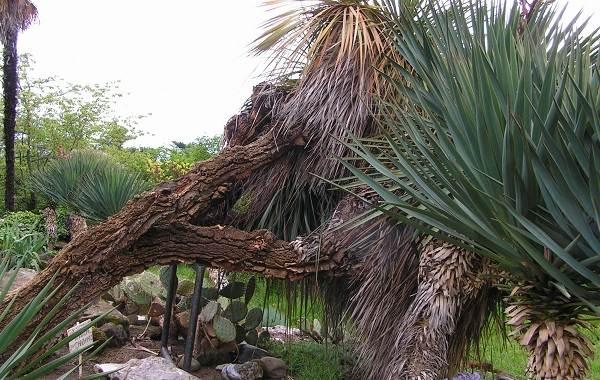 Нолина-дерево-Описание-особенности-виды-и-уход-за-нолиной-17