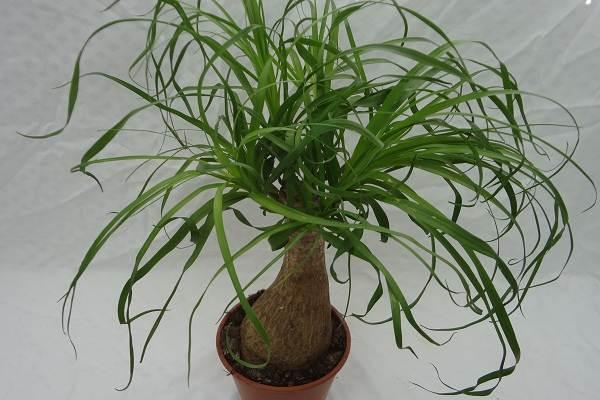 Нолина-дерево-Описание-особенности-виды-и-уход-за-нолиной-18
